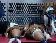 Laborállatok: életüket áldozzák az emberek életének meghosszabbításáért