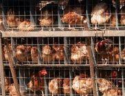Megvédjük a gazdasági állatokat is