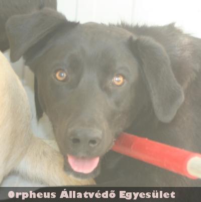 Labrador jellegû, közepes testû, nyugodt, kan kutya állatbarát gazdihoz került