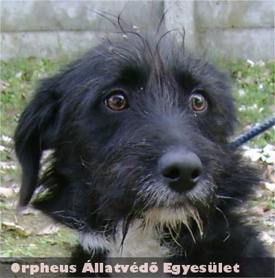 Egy iskola udvarára szökött be a 10 hónap körüli, fekete-keverék, kan kutya. Az ott dolgozók nem tûrték meg az állatot, azért befogását és elszállítását kérték. Az Orpheus telepén talált új gazdára