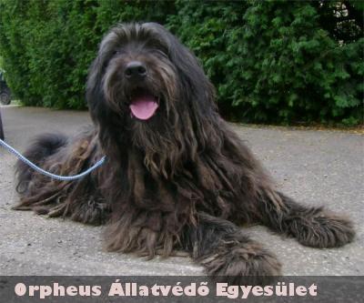 Az 5-6 év körüli, puli-bobtail keverék, kan kutya Pújji is gazdára talált