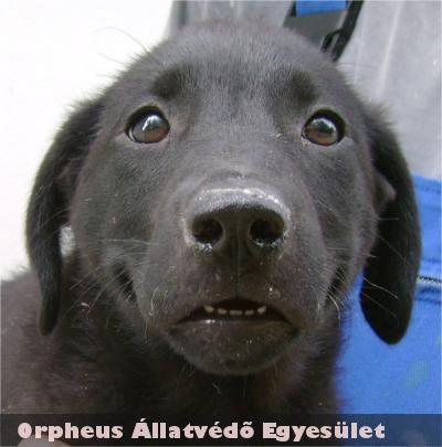 A két hónapos, fekete színû, labrador keverék, kan kutyát örökbe fogadták