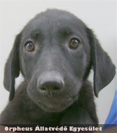Tell01 a két hónapos, fekete színû, labrador keverék, kan kutya egy kertes ház udvarára került egy kedves családhoz