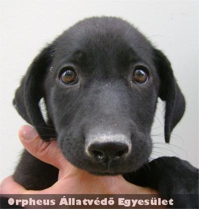 A két hónapos, fekete színû, labrador keverék, kan kutya Tell02 szeretõ gazdira lelt