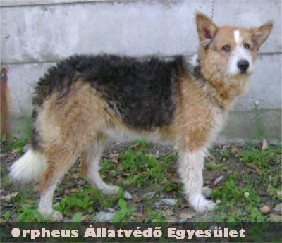 A négy év körüli, fox-terrier jellegû, kan kutya a belvárosban kóborolt. A közelben lakók kérésére a kutyát befogtuk és beszállítottuk az Ebrendészeti telepre, ahol új gazdira talált