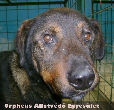 Brúnót az Orpheus Állatvédõ Egyesület meggyógyította, majd gazdit talált a kaukázusi-rotweiler keverék kutyusnak