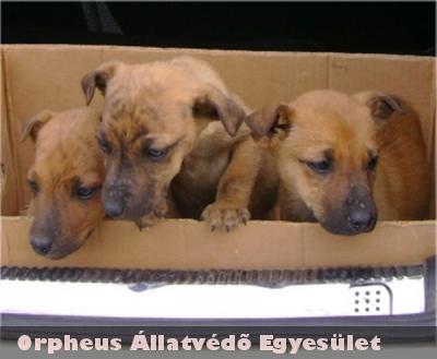 A három barna, kan, keverék kutyust is örökbe fogadták