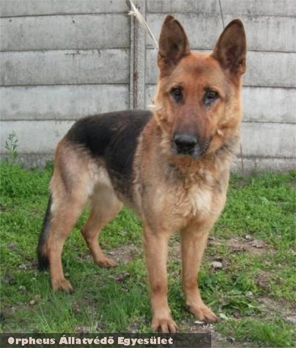 Kata a németjuhász az Orpheus Állatmentõ csapata által került új gazdihoz! Támogassa adó 1%-val az állatok megmentését!