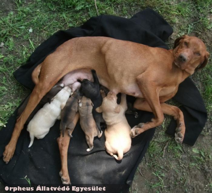 Anyakutya nélküli piciket találtunk, melyeket bérmama táplál az állatvédelmi telepen