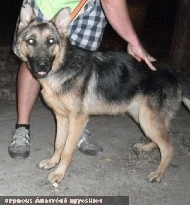 Roxy a németjuhász fajtiszta kutya az Orpheus Állatvédõ Egyesület által került örökbeadásra