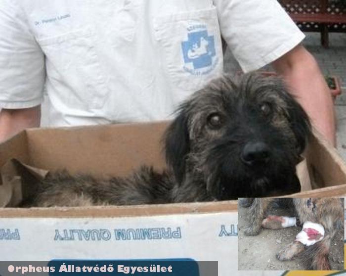 Körte kutyát autó gázolta, az Orpheus Állatvédõ Egyesület rendbe hozta, gazdáját felkutattuk, biztonságba került
