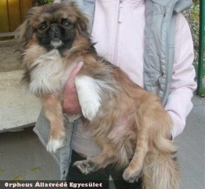 Ponó a pincsi kutya az Orpheus Állatvédõ Egyesület révén menekült meg
