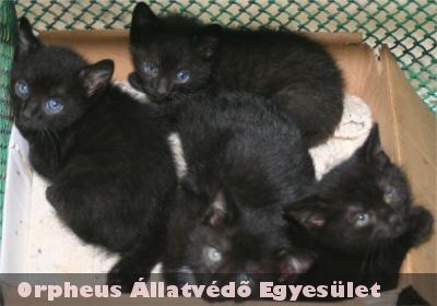 Egy lépcsõház udvarában született testvéreivel ez a fekete cicus. Állatbarátok fogták be és szállították õket az ebrendészetre, ahol pár napon belül gazdára is találtak