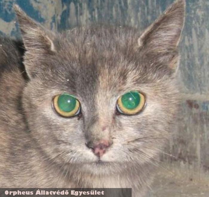 Cirmi cica az Orpheus Állatvédõ Egyesület által került szeretõ gazdihoz