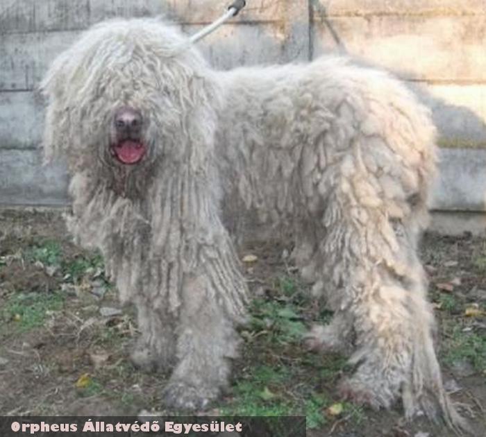Komina a komondor kutya az Orpheus Állatvédõ Egyesület állatmentõ munkája révén került jó helyre