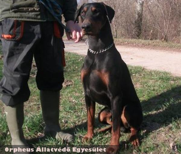 Komor a dobermann kutya a lakosság adó 1% felajánlásai révén gyógyult és került gazdihoz