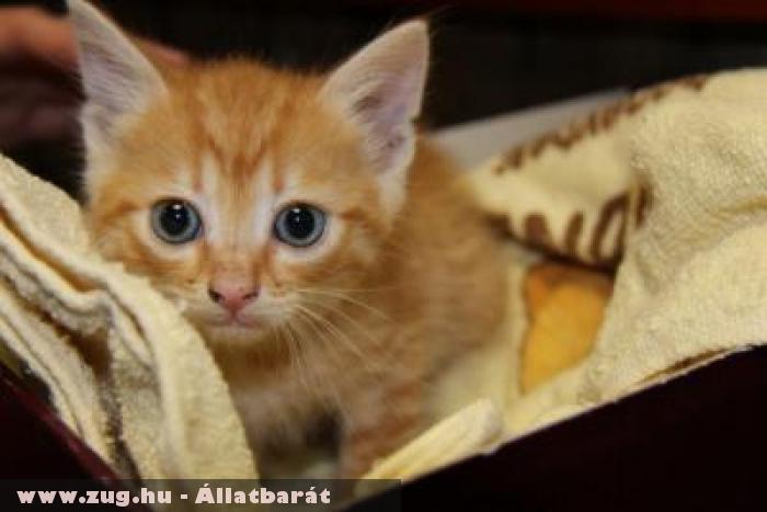 Cicamentés: Vöri cica az Orpheus Állatvédõ Egyesület révén menekült meg
