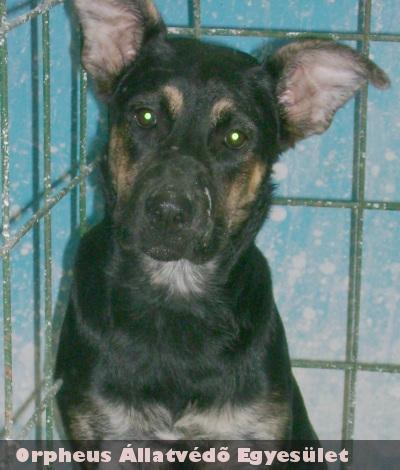 Ház elé kötötte ki egy lelketlen ember a 6 hónapos, szuka, német juhász keverék kutyát, majd az Orpheus munkatársai kerestek neki új gazdit!
