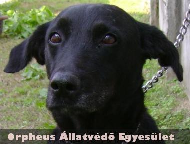 Az ebrendészet a szuka, 6 év körüli, labrador keverék kutyát rothadó bûzbõl, szeméthegyek közül mentette ki