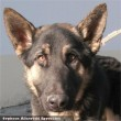 Hovit, a németjuhász kutyust az Orpheus Állatvédõ Egyesület tette rendbe, és adta szeretõ gazdihoz