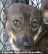 Egy magánháznál unták meg az egy év körüli, keverék, szuka kutyát, altatásra adták le az állatot, de az Orpheus Állatvédõ Egyesület megmentette és új gazdit keresett neki!