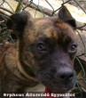 A boxer - keverék kutyát rendõrségi kérésre az ebrendészet állatbefogója azért fogta be, mert beszökött egy portára, és az ott lévõ állatokkal konfliktusba keveredett. Új gazdát kerestünk neki!