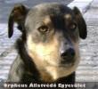 Egy bevásárló központ környékén élelem után kutatott két másik társával a 3-4 év körüli, kis testû, kan keverék kutya. Gazdihoz került!